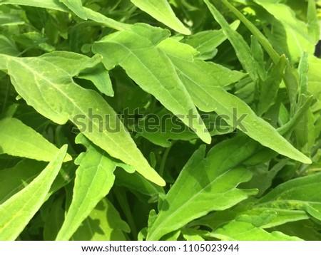 coleus leaves on display