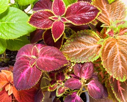 Coleus plant. A mixture of colors. Different varieties of coleus.  Assortment of potted house plants. colorful leaves pattern. Burgundy-green leaves of coleus close-up.
