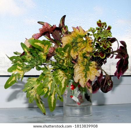 Coleus plant bouquet. Slices, cuttings in water. Rooting of coleus. Autumn leaves. Vegetative varietal coleus plants. Coleus variety - Tammy, white finger, Doctor Wu, Songbird, Morgan Le Fay Zdjęcia stock ©