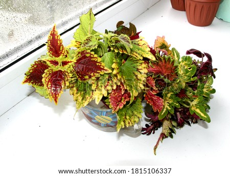 Coleus plant bouquet. Slices, cuttings in water. Rooting of coleus. Autumn leaves. Vegetative varietal coleus plants. Coleus variety - Tammy, white finger, Doctor Wu, Songbird, Morgan Le Fay.cuttings Zdjęcia stock ©