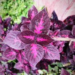 Coleus Plant, Coleus is a genus of annual or perennial herbs or shrubs, coleus plants, Solenostemon, coleus leaves