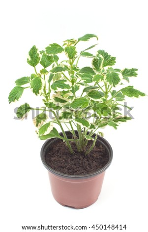 coleus plant in pot isolated on ...