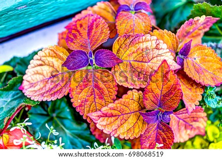 Coleus plant red color vibrant vivid leaves macro closeup #698068519