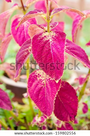 Coleus plants in container garden in early autumn. selective focus, shallow dof