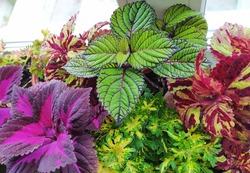 Coleus plants on the window. Various varieties of Coleus. Growing flowers. Blooming windowsill. Floriculture, horticulture. Beautiful autumn leaves. Banner, Leaf texture.