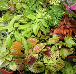 Coleus plants on the window. Various varieties of Coleus. Growing flowers. Blooming windowsill. Floriculture, horticulture.autumn leaves. Banner, Leaf texture. Coleus Religious Radish. blur