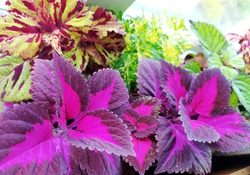 Coleus plants on the window. Various varieties of Coleus. Growing flowers. Blooming windowsill. Floriculture, horticulture. Beautiful autumn leaves. Banner, Leaf texture. Banner for the site. blur
