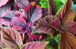 Coleus plants on the window. Various varieties of Coleus. Growing flowers. Blooming windowsill. Floriculture, horticulture. Beautiful autumn leaves. Banner, Leaf texture. Coleus Religious Radish