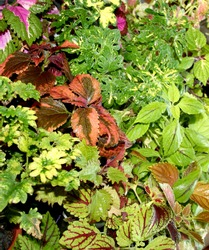 Coleus plants. Various varieties of Coleus. Growing flowers. Blooming windowsill. Floriculture, horticulture. Beautiful autumn leaves. Banner, Leaf texture. Coleus Religious Radish