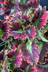 Coleus sky fire, coleus with intense purple and scarlet foliage with ruffled brilliant lime green edges, selective focus