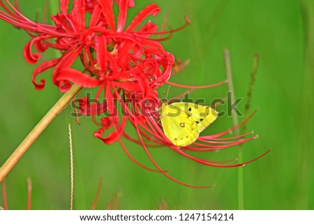 Collaboration of red  cluster amaryllis (Higanbana) and yellow butterfly