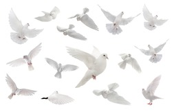 collage free flying white dove isolated on a white background