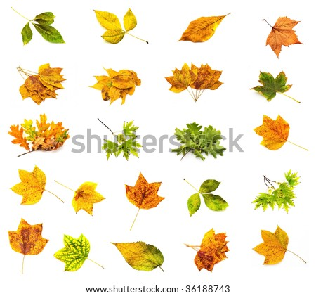 Collage from different autumn leaves on a white background