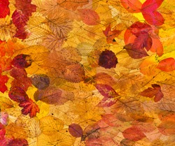 collage from many natural autumn leaves - background from fallen leaves with backlight