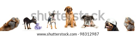 collage from photos of dogs of breeds - a Rottweiler, boerboel, toy terrier, boxer