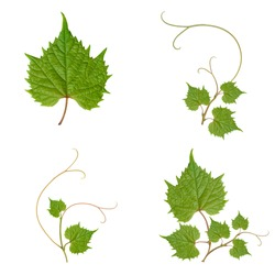collage. grape leaves on beautifully intertwined branches on a white background.