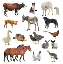 collage livestock isolated on white background