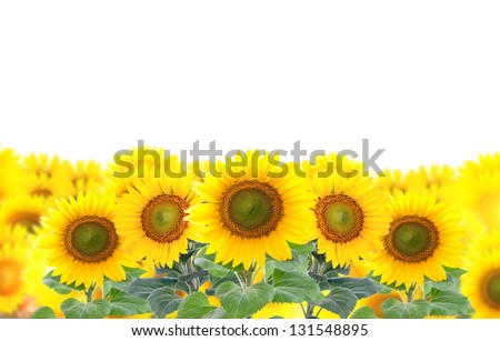 Collage of a field of sunflowers. Isolation.