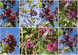 Collage of an unusual color in Iochromas, Pretty in Pink is a prolific flowering selection on a vigorous growing upright to spreading, naturally evergreen tropical shrub.