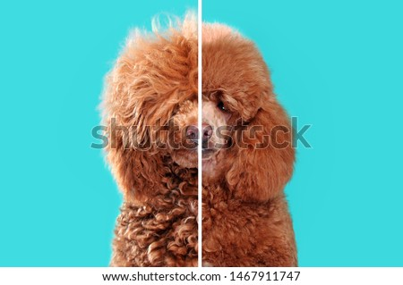 Collage of closeup portraits of poodle before and after grooming against aqua background