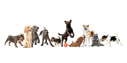 Collage of different purebred dogs and raccoon isolated over white background.