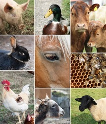 Collage of Farm Animals (single images are in my gallery)