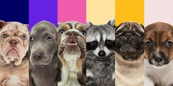Collage of five different breeds of dogs and cute raccoon. Close-up portraits.
