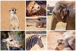 Collage of images of a meerkat, a cheetah, an elephant, giraffe, zebra, hippopotamus and a galapagos tortoise