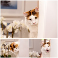 Collage of images of playful female Norwegian Forest cat hiding around a corner, wanting to engage and play with its human owner