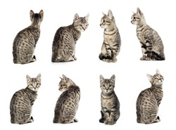 Collage of Little gray cat in different positions isolated on white background.