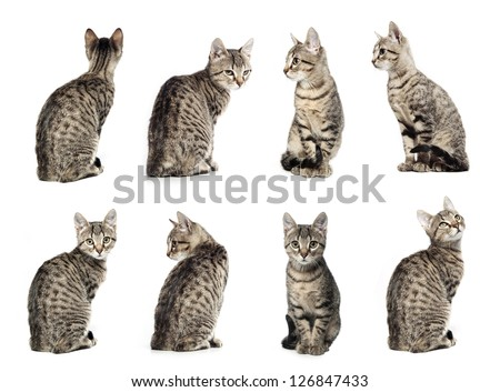 Collage of Little gray cat in different positions isolated on white background. #126847433