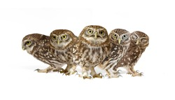 Collage of little owls (Athene noctua) on white background.