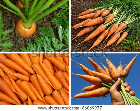 collage of organic carrots in the garden