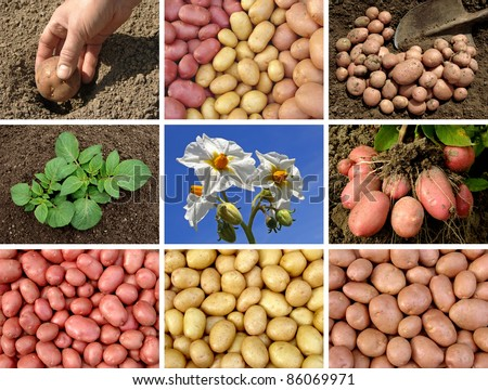 collage of potatoes growing and harvested