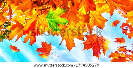 Collage of red maple leaves on blurred background of alley of golden maple trees in the autumn