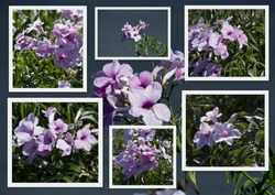 Collage of showy mauve pink blooms of Allamanda, a genus of flowering plants in the dogbane family, Apocynaceae, seen here flowering in late spring with delicate  trumpet shaped flowers.