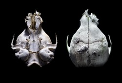 Collage of the top and bottom of the upper cranium skull of a Raccoon