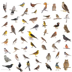 collage of the wild birds isolated on a white background