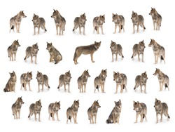 collage of wolves  (canis lupus) isolated on snow on a white background