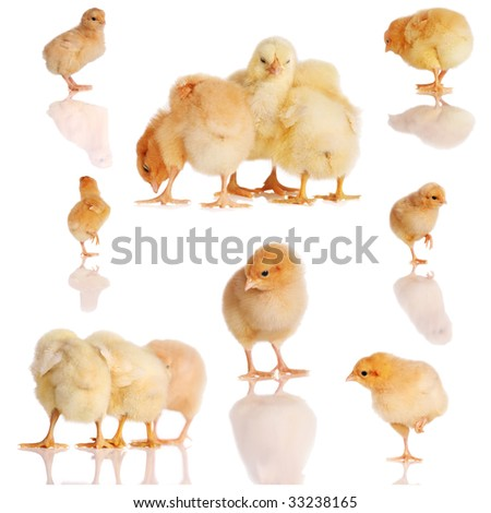 Collage of yellow chicks in various poses