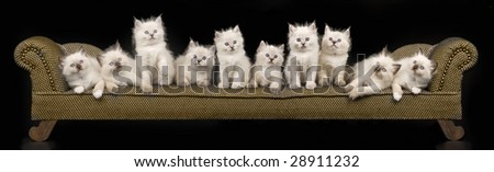 Collage pano panorama of 10 Ragdoll kittens on miniature brown chaise couch sofa on black background