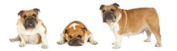 Collage set of three photos of purebred English bulldog isolated on a white background