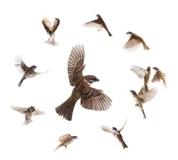 collage sparrows flies isolated on white background