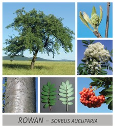 Collage tree species with detail photos of flowers and fruits and leaves