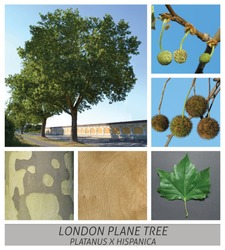 Collage tree species with detail photos of flowers and fruits and leaves London Plane Tree, London Plane, Hybrid Plane