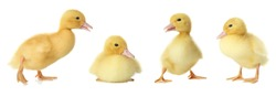 Collage with cute fluffy ducklings on white background, banner design. Farm animals