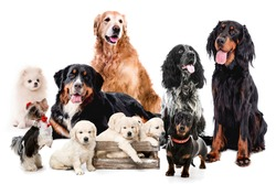 Collage with dogs sitting together isolated on white background. Golden retriever bernese scottish setter maltese doggy
