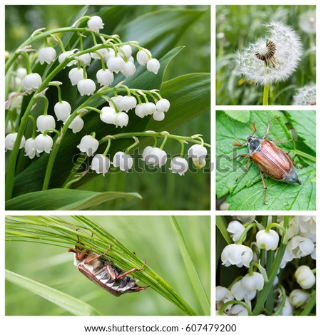 Collage with lily of the valley and May beetles / May / Lily of the valley and May beetles #607479200