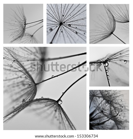 collage with photos of dandelions. artistic photos of dandelions