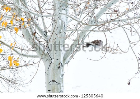 Collard dove roosting in an Aspen tree during a cold snowy morning